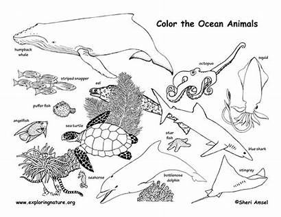 Coloring Ocean Animals Habitat Pages Animal Drawing