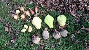 Planter Graine Tomate : planter bulbes oignons chalotes chayotte christophine pommes de terre betterave dans sol ~ Dallasstarsshop.com Idées de Décoration