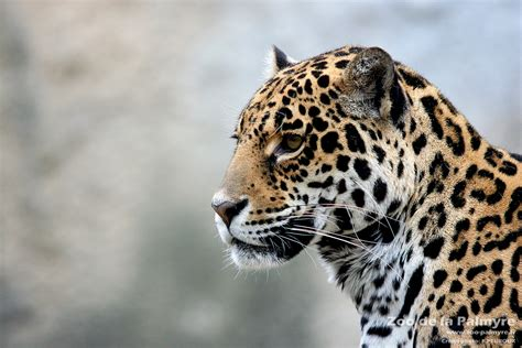 jaguar zoo de la palmyre