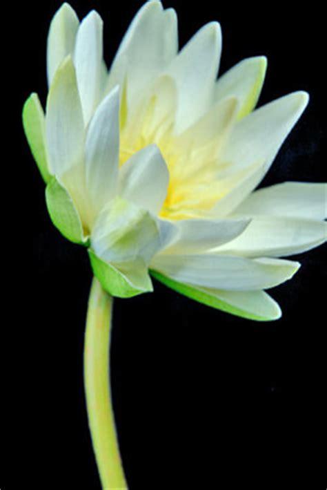 lotus flowers water lilies