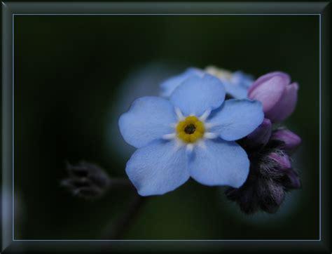 blume vergissmeinnicht bilder vergissmeinnicht oder die blaue blume foto bild pflanzen pilze flechten bl 252 ten