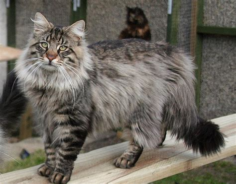 norwegian forest cat history personality appearance