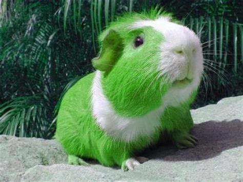 green guinea pig st patricks day graphics  facebook
