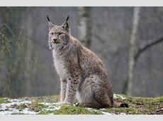 LynxRomania National Animal Wallpapers9