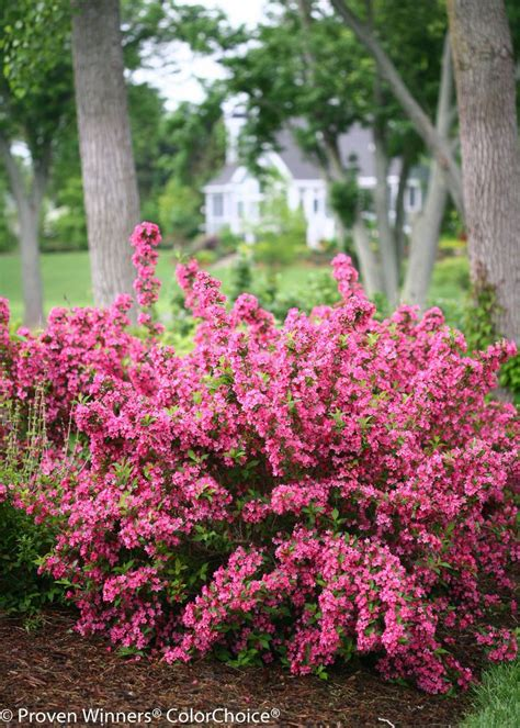 flowering hedges florida 295 best images about garden shrubs and trees on pinterest sun evergreen shrubs and thuja