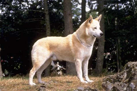 canaan dog puppies  sale  reputable dog breeders