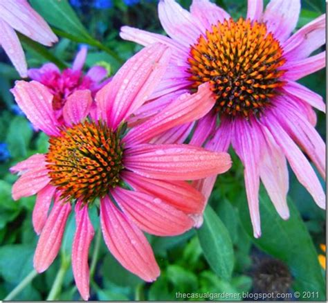 how to grow coneflowers 131 best images about echinacea on pinterest gardens sun and flower
