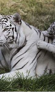 White tiger cubs maul new zookeeper to death in India ...
