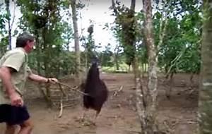 Cassowary: The Honey Badger of Birds