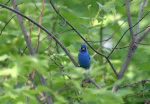 Indigo Bunting Bird Ohio