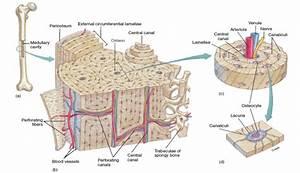 Osseous Tissue Diagram