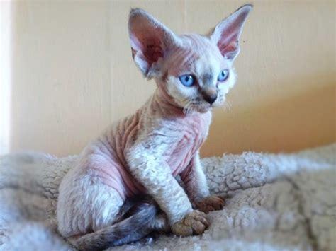 Devon Rex Cat Breed Profile  Uk Cat Breeders