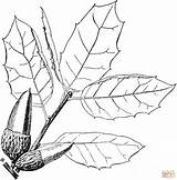 Oak Coloring Coast Tree Printable Drawing Getdrawings Supercoloring Leaf Dark sketch template