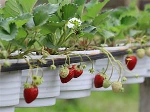 Erdbeeren Pflege Balkon : erdbeeren auf dem balkon ~ Lizthompson.info Haus und Dekorationen