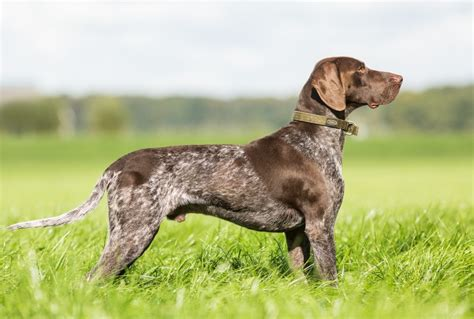 German Shorthaired Pointer Shedding by German Shorthaired Pointer Breed Information Buying