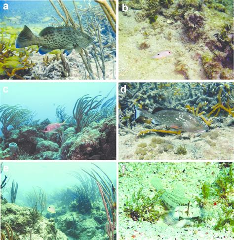 coral staghorn mycteroperca microlepis grouper gag juvenile thicket lane snapper publication