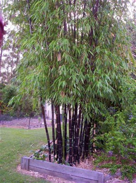 timor black bamboo bamboos wholesale