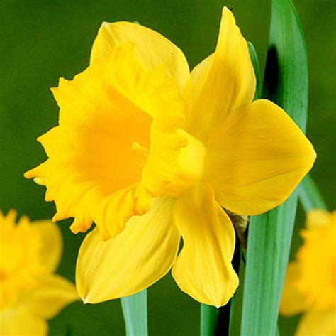 large flowering daffodils master 5kg bulbs or buy