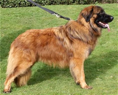 Estrela Mountain Dog Breeders Breed Clubs And Rescue
