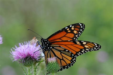 picture monarch butterfly flowering plant insect