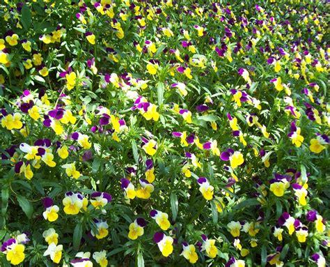 immagini prato fiorito prato fiorito foto immagini macro e up macro