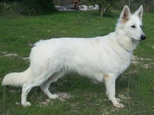 white swiss shepherd dogs champdogs