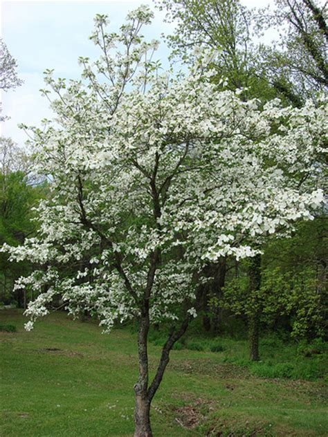 28 best mini dogwood tree dwarf kousa dogwood tree car