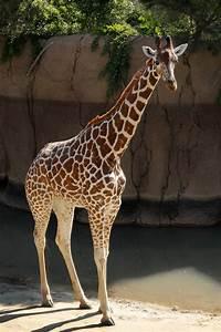 Q&A: GIRAFFE BIRTH LIVE | Dallas ZooHoo!  Giraffe