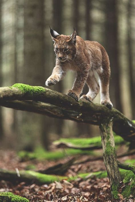 Lynx, Forests And Beautiful Cats On Pinterest
