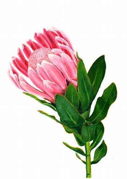 Flower Protea Watercolor Painting Clipart African South