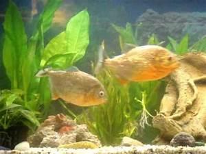 Piranha attack - YouTube