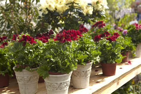 Topfpflanzen Giessen Und Richtig Pflegen by Die Richtige Pflege F 252 R K 252 Belpflanzen Gartenzauber