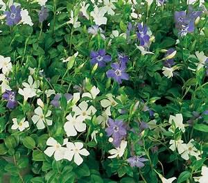 Bodendecker Blaue Blüten : immergr n 39 bavaria 39 dehner garten center ~ Frokenaadalensverden.com Haus und Dekorationen