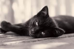 black cats 8 hair raising facts about black cats mental floss