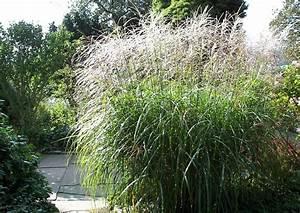 Ziergräser Im Garten Bilder : miscanthus sinensis 39 sirene 39 chinaschilf f r sichtschutz und gartengestaltung ~ Sanjose-hotels-ca.com Haus und Dekorationen