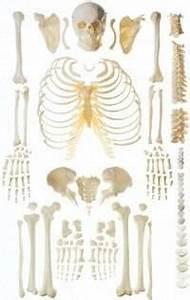 Wie Viele Arme Hat Ein Oktopus : das skelett ~ A.2002-acura-tl-radio.info Haus und Dekorationen