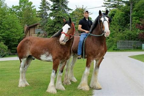 clydesdale horses horse budweiser shire clydesdales farms riding draft track forward march duke calming creatures
