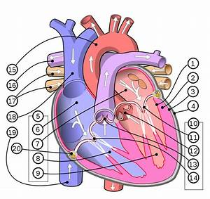 File Diagram Of The Human Heart  Multilingual 2  Svg