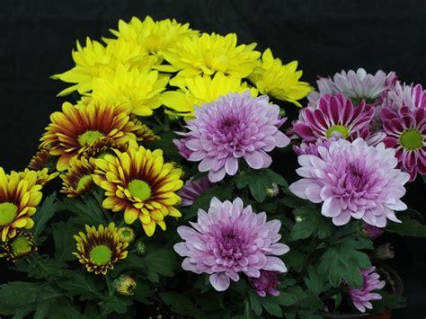 dendranthema hybride balkon chrysanthemum indicum hybriden