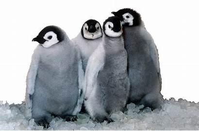 Penguin Transparent Emperor Sea Penguins Chicks Foreground