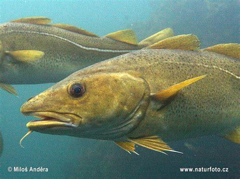 Gadus morhua Pictures, Atlantic Cod Images, Nature Wildlife Photos | NaturePhoto
