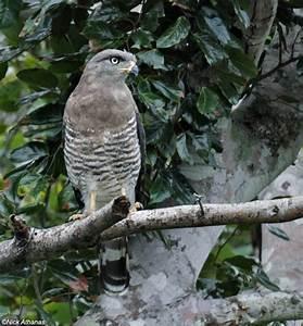 Circaetus fasciolatus (Southern banded snake-eagle ...
