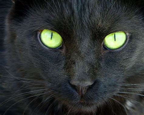 black cats with green images of black cats with green boo black cat