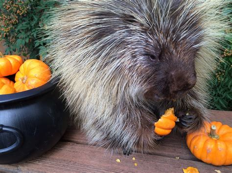Porcupine Eating Pumpkin And Talking by Teddy Bear The Talking Porcupine Chatters Away While