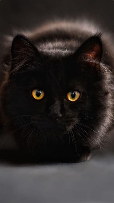 free iphone black cat wallpaper black cat pictures