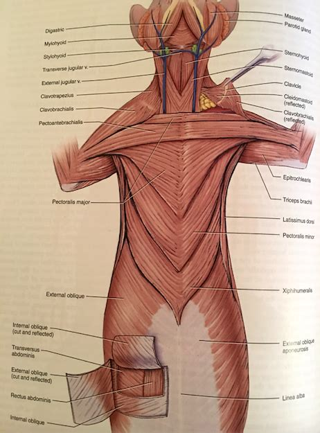 The splenius muscles both originate from the. Chest Muscles Diagram / Muscles of the trunk. On the right side of the figure, the ... - The ...