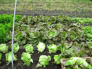Radishes Blooming and Pruning Lettuce | Going to Seed