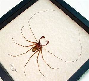 Real Framed Giant South American Cave Spider 9907 Only 1 ...