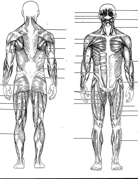 Learn about human body bones muscles with free interactive flashcards. human muscles chart -   Muscle diagram, Human body muscles, Human body diagram