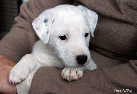 dsc parson jack russell terrier